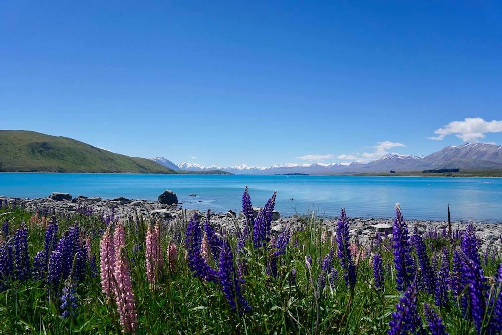 Lake Tekapo field of lupins
